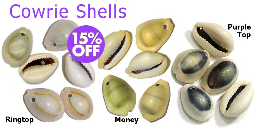 Drilled Cowrie Shells - Drilled Ringtop Cowrie Shells, Drilled Money Cowrie Shells, Drilled Purple Top Cowrie Shells - Crazy Crow Trading Post
