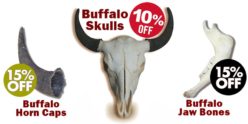 Buffalo Skulls Sale - Crazy Crow Trading Post